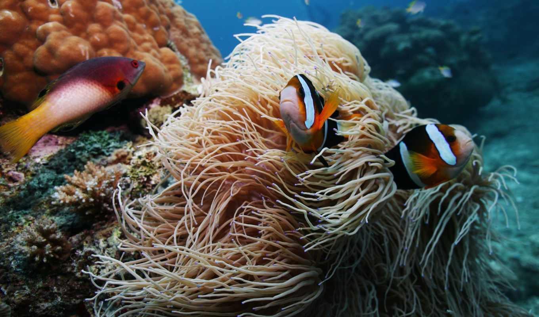 anemoonvis, hebben, clarkii, amphiprion, aquainfo, die, een, зе, zhivotnye, wordt, anemonen,