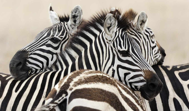 картины, зебры, zebra, каталог, картин, цен, comparison, полоску, интерьера, пчел,