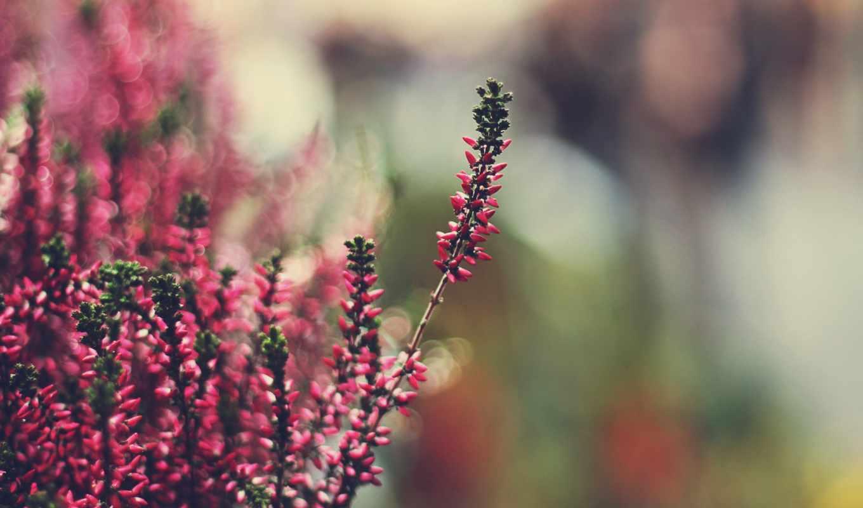 heather, боке, бесплатные, cvety, изображений, символ, макро,