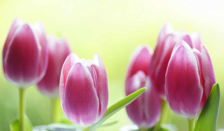 изображение, тюльпаны, tulips, desktop, тематика, цветы, фото, free,