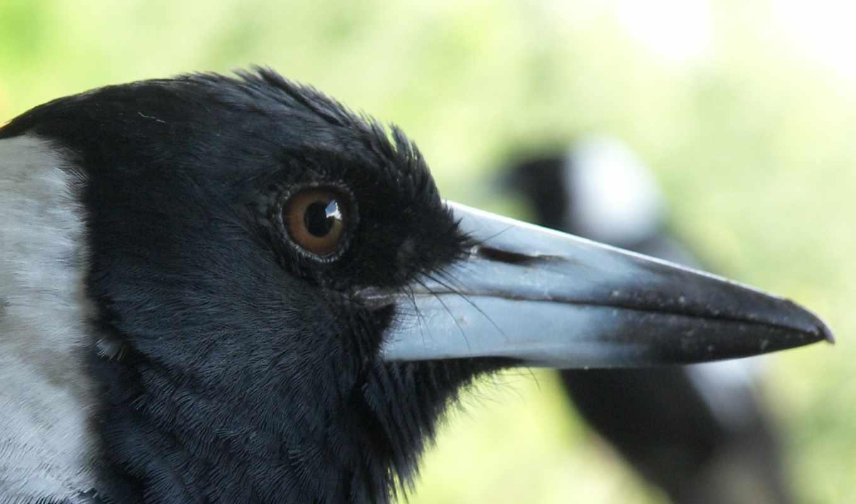 ворона, вороны, птицы, чему, глаз, pinterest, снится,