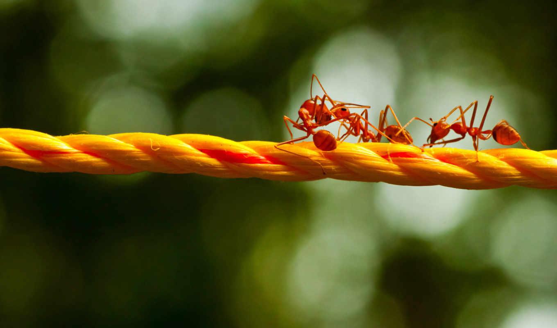 муравьи, макро, веревка, блики, ants, картинка,
