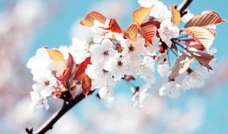 сакура, цветы, весна,
