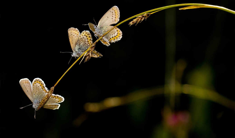 dark, колоски, трио, бабочки, трава, животные, бабочка, картинка,