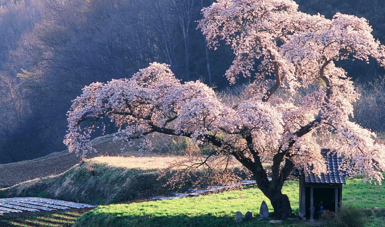 дерево, сакуры, everything,