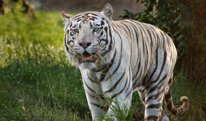 тигры, животные, красивых, тигр,