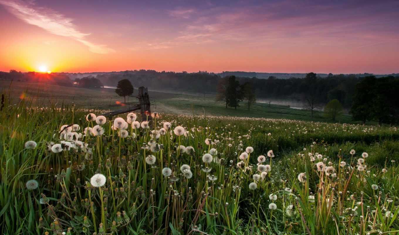 поле, одуванчики, природа, landscape, закат,