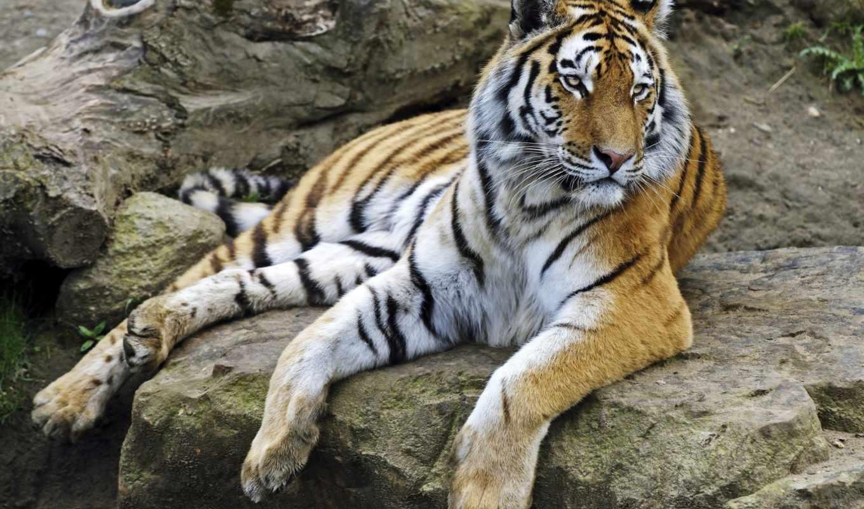 тигр, amur, zhivotnye, кошки, отдых, лапы,