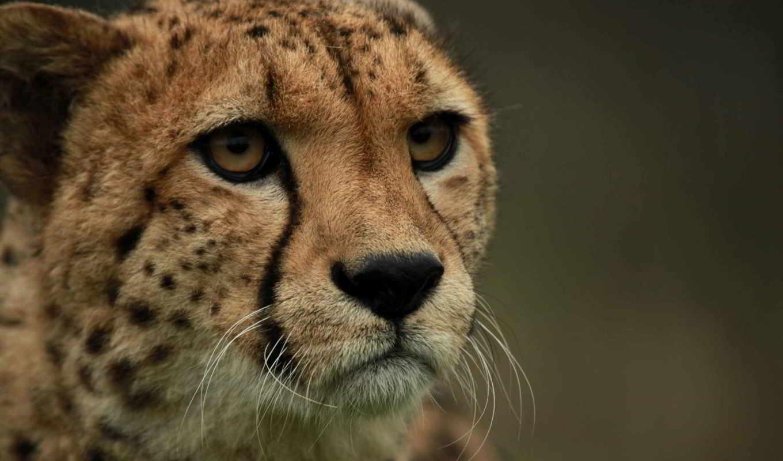 гепард, смотреть, морда, кот,