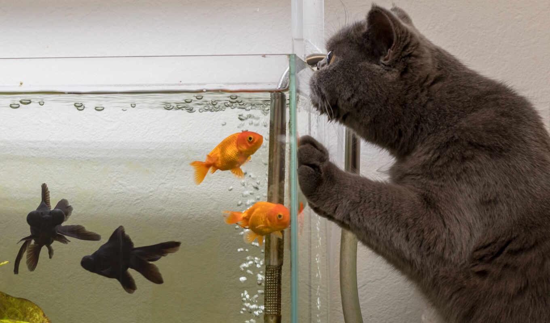 goldfish, лебедь, озеро