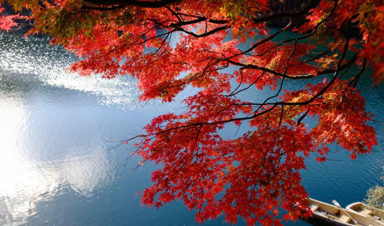 japanese, klnyi, лист, фон, maple
