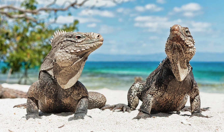 животные, рептилии, пляже, iguana,