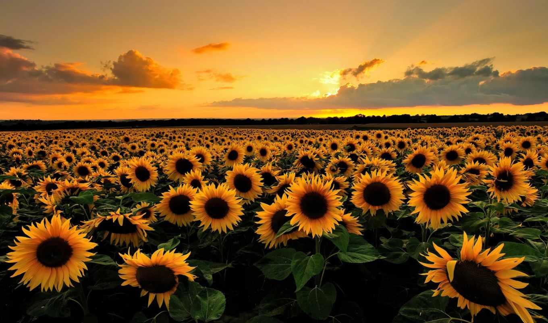 подсолнухи, поле, summer, природа, цветы,