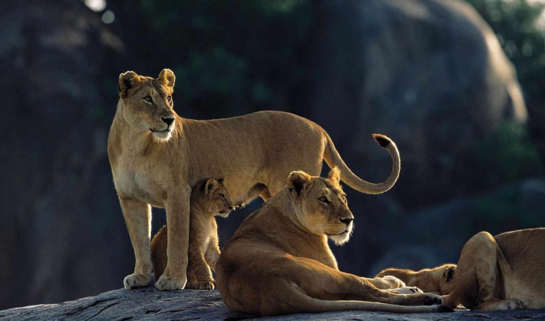 семья, львица, хищники, коллекция, лев,