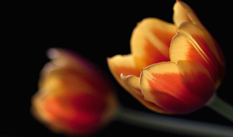 тюльпан, изображение, free, desktop, цветы, tulips,