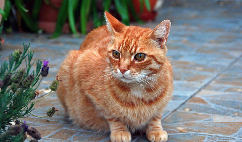 кот, red, cats, dark, tabby, black, компьютер, шпалери,