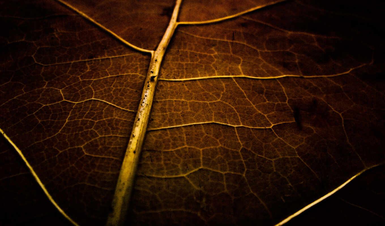leaf, prozhilok, лист