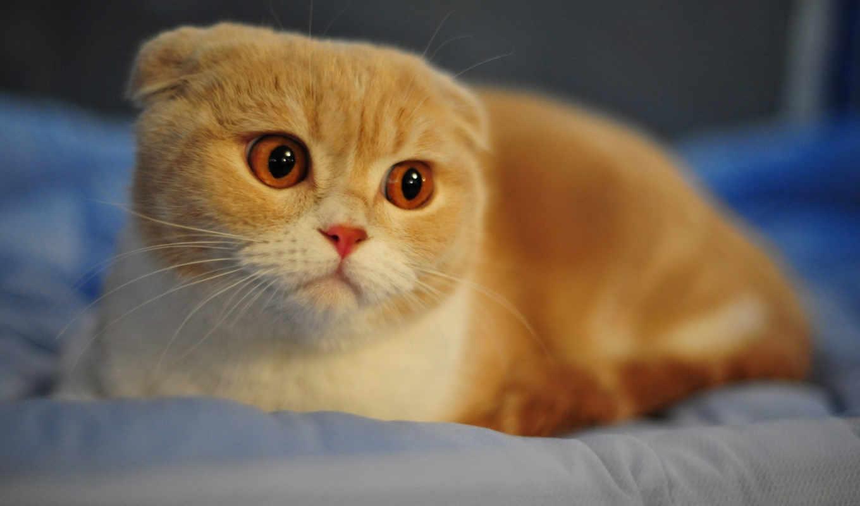 вислоухий, шотландский, кот, белый, рыжий,