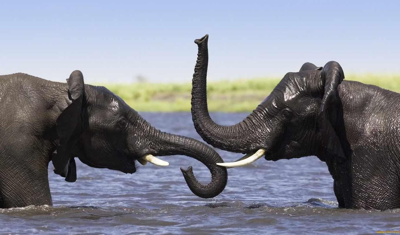 слоны, два, слона, слонов, слон, вида, африканский,