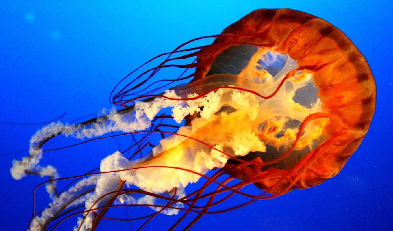 ,медуза, вода, голубой