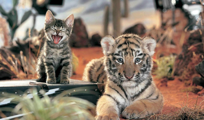 кот, тигр, детёныш, котенок, дружба, нояб, февр,