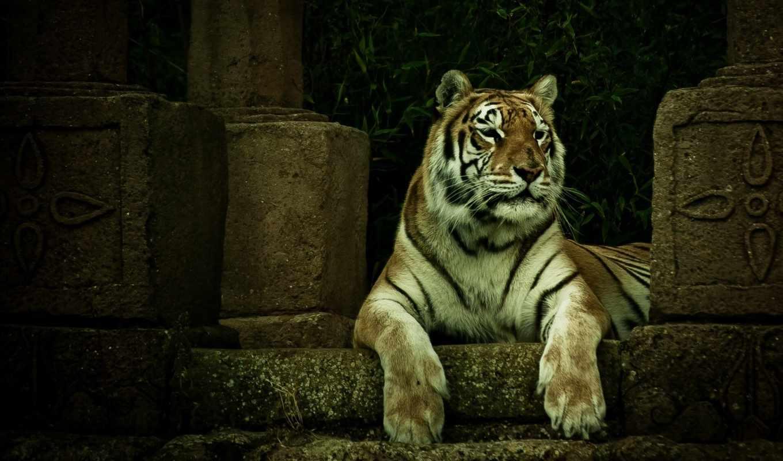 тигр, tigre, parede, fauve, стоит, кошки, zhivotnye, moehle, стивен, фотограф, тигры,
