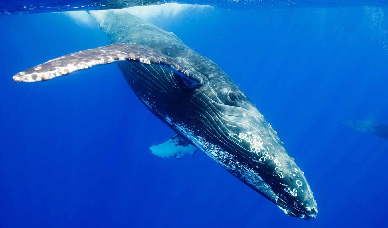 кит, humpback, animal, water, миро, ocean, underwater, fond, diving, depth, касатка