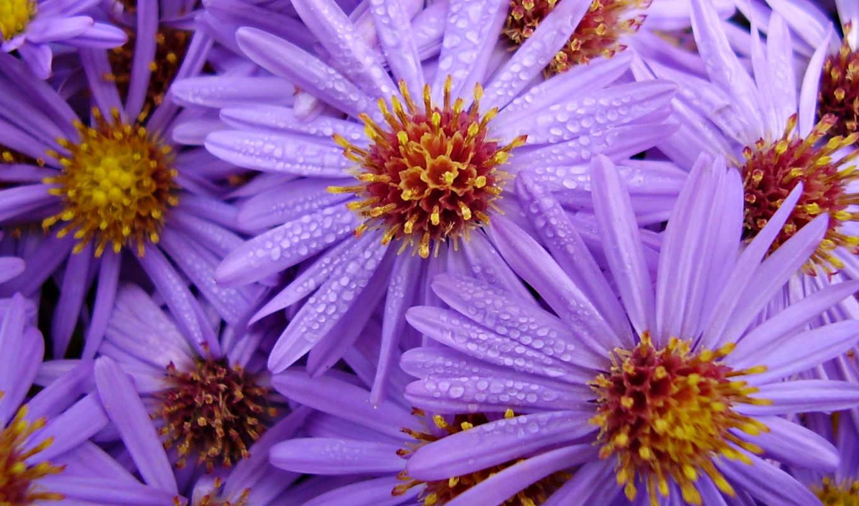 цветы, обои, сиреневый, букет, фото, капли, цвета,