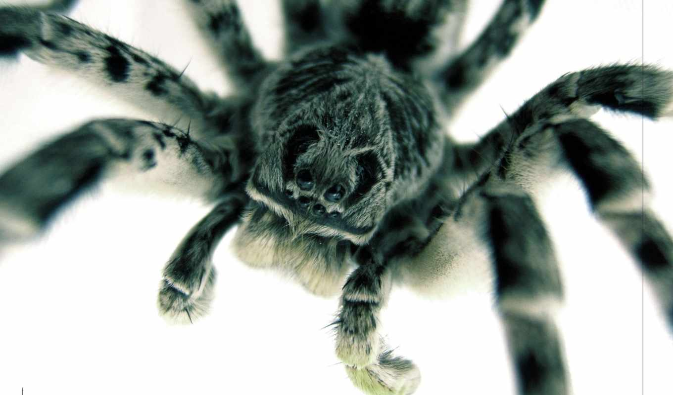 обои, spider, eyes, глаза, паук, wallpapers, макро