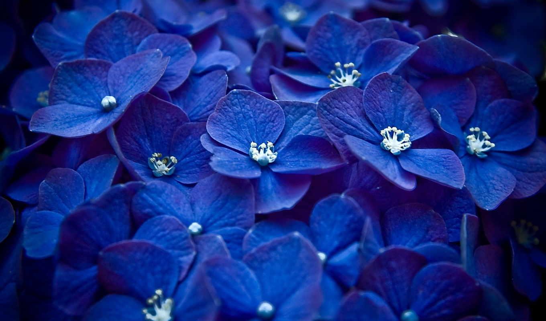 цветы, макро, лепестки, много, синий, природа, природы, цвет, красота, фонов, картинка,