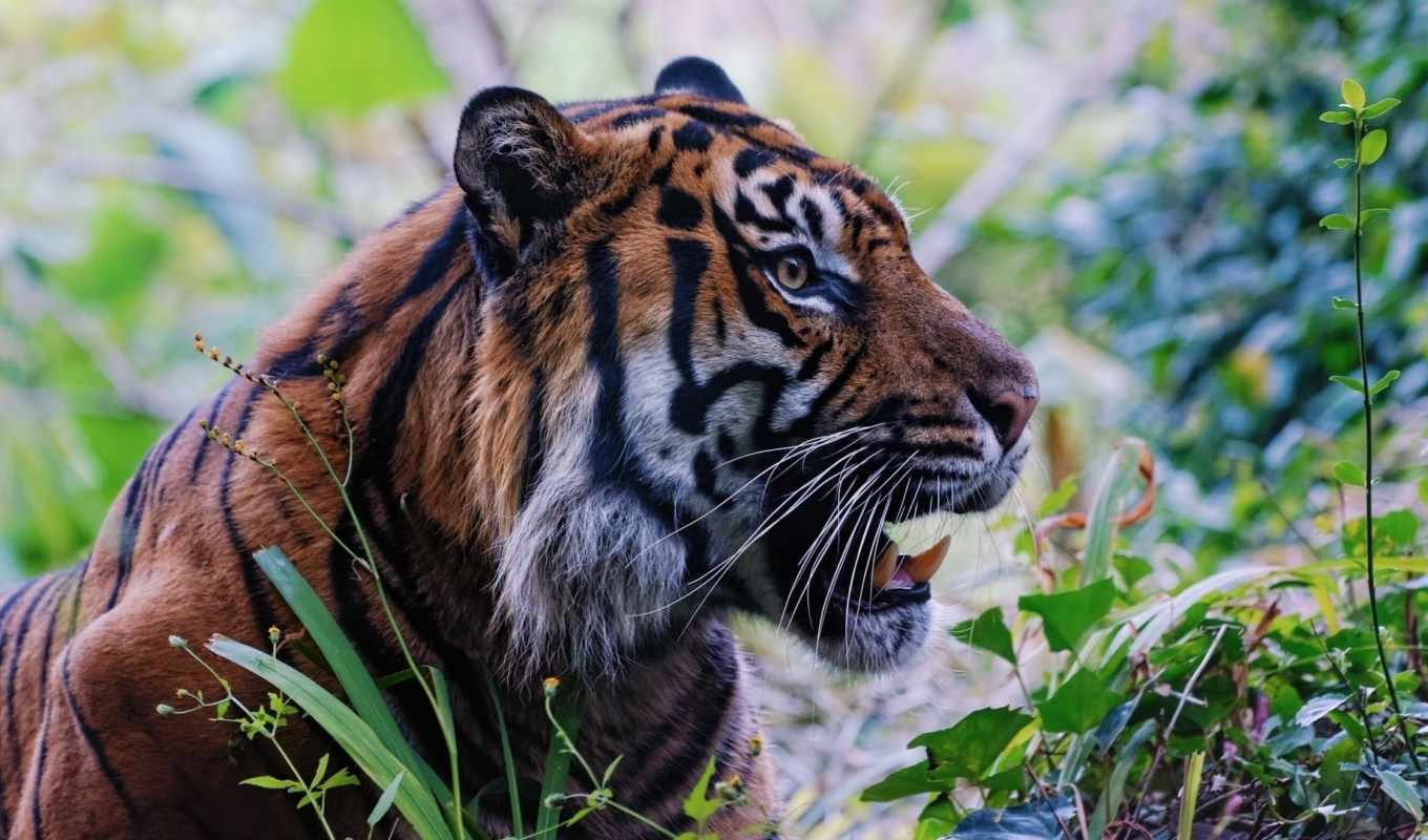 pictures, wild, cat, face, tiger,