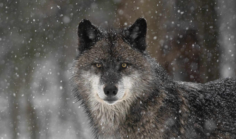 аватар, хищник, animal, stare, волк, oir, фото, forum, снег