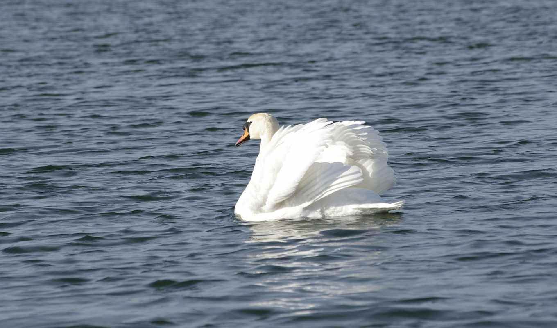 вода, белый, лебедь,