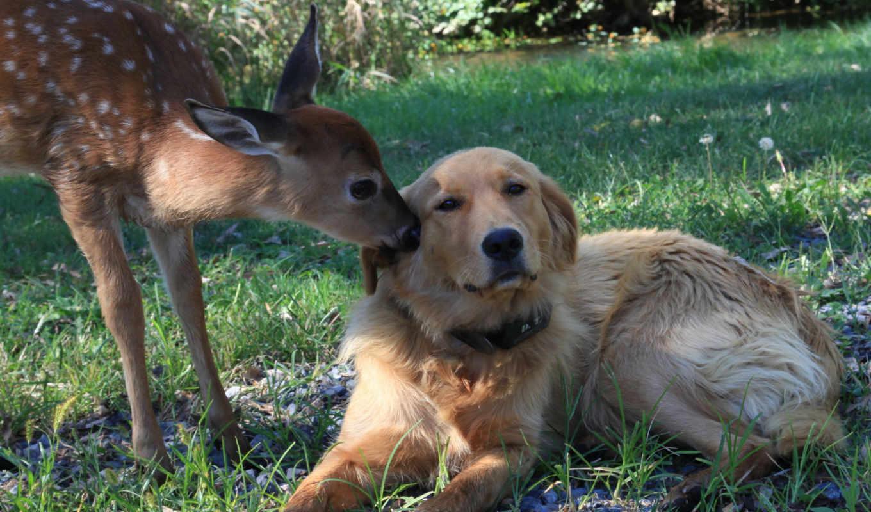 взгляд, собака, fawn, отражение, лань, дружба, shadow, деревья, water,