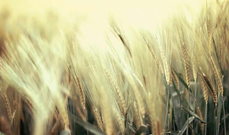 колосья, природа, макро, поле, картинка, фоны,