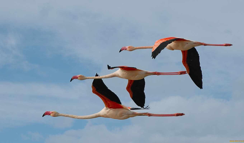 birds, flying, фламинго, птица, птицы, images,