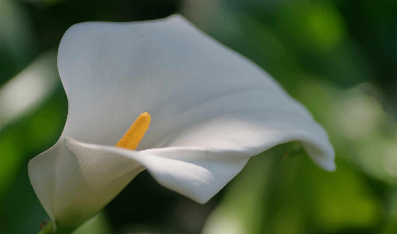 белая, макро, калла, цветок, фото,