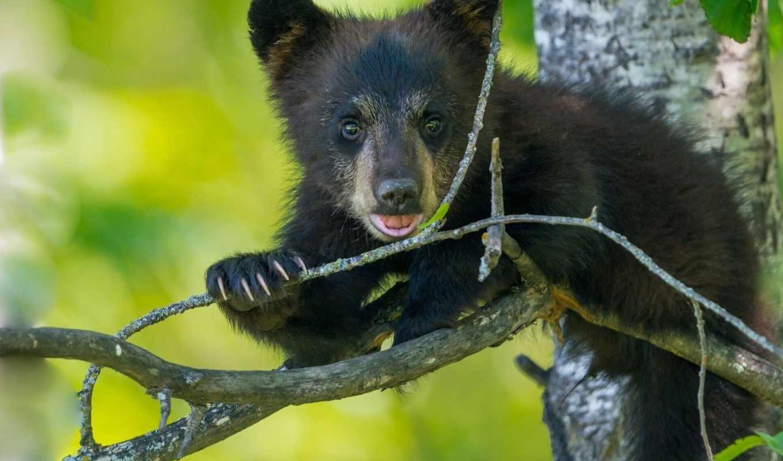 медведи, детёныш, дерево, животные, медведь,