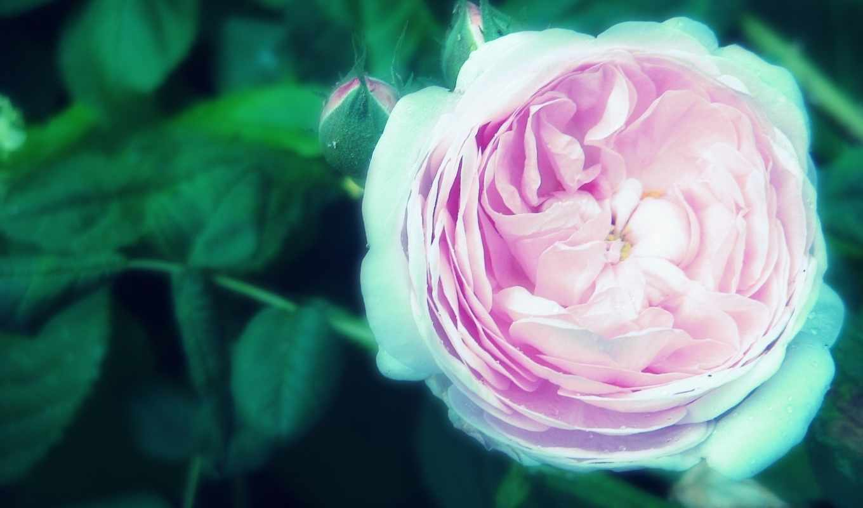 цветы, мне,