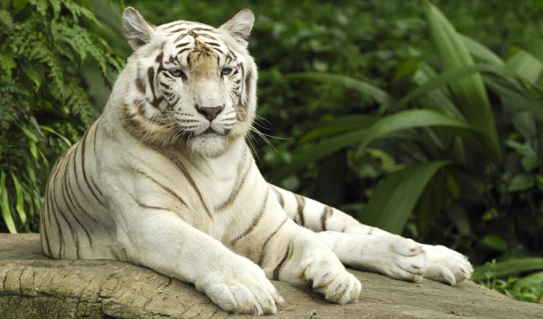 singapore, тигр, white, zoo, panthera, tigris, tigers,