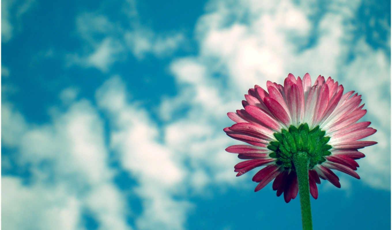 цветы, красивые, весенние, daisy, маргаритки, фотографий, весна,