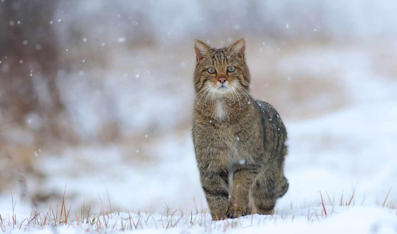 снег, winter, animal, кот, wild, play, трава, погода