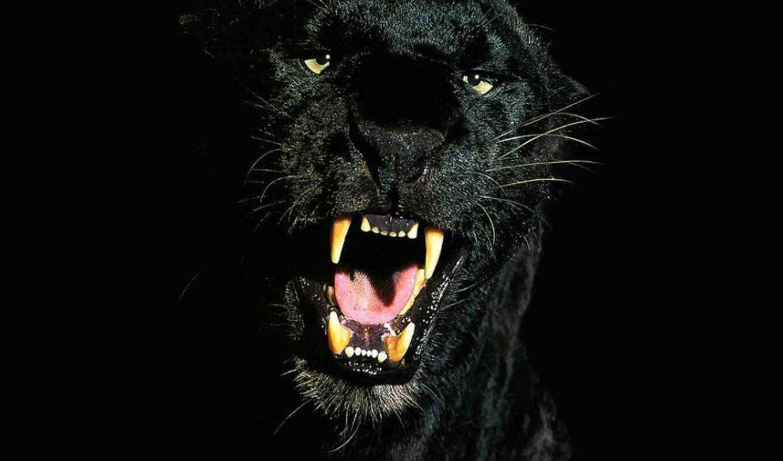 black, smo, panthers, пантера,тень, рррряфк,, panther,