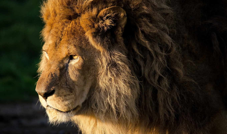 lion, взгляд, грива, морда, хищник,