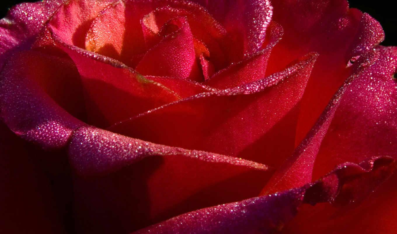 fone, черном, восхитительными, розовыми, лепестками, розы, бело, бутон, прекрасной, трогательный, напоминает,