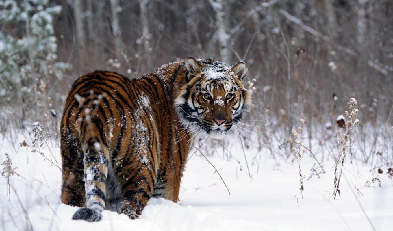 тигр, снегу, zhivotnye, wpapers, совершенно, свой,
