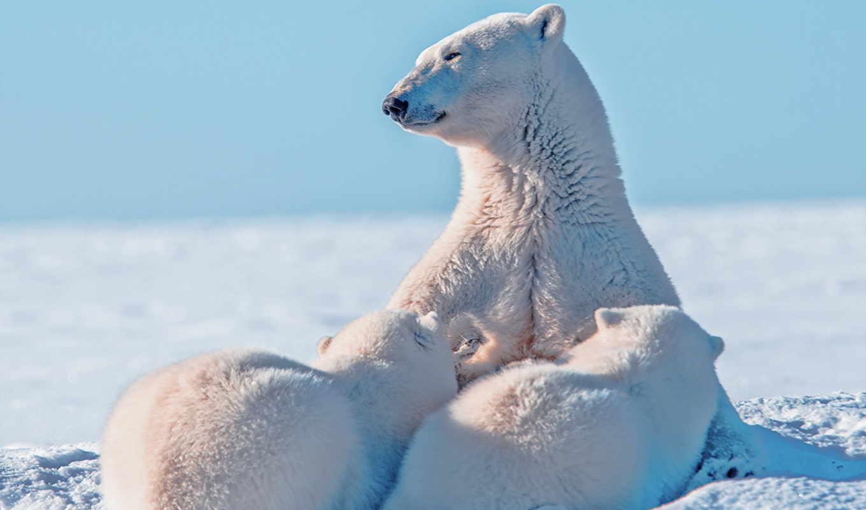 tapety, niedźwiedzie, polarne, małe, misie, pulpit, niedźwiedzica, polarny, dwa,