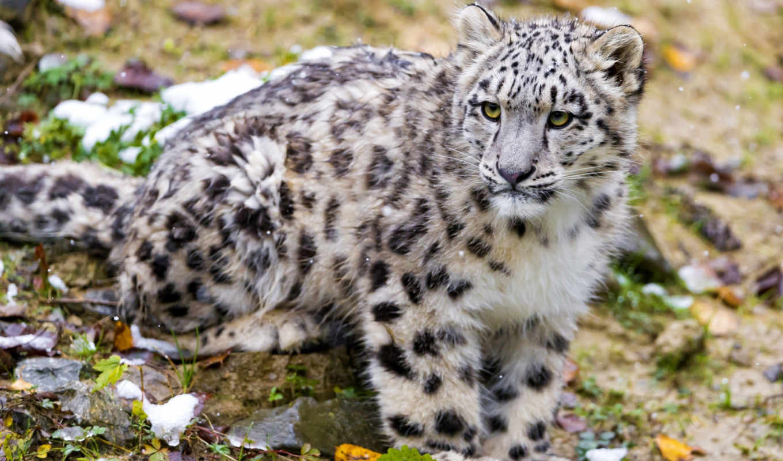 animals, снег, desktop, леопард, art, смотрит, bars,