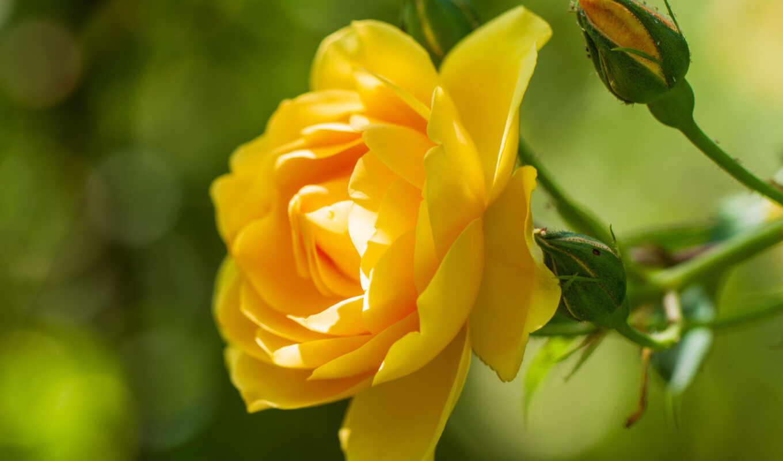 hoa, hương, vàng, растение, взлёт, yellow, вазон, free, heal, những, музыка