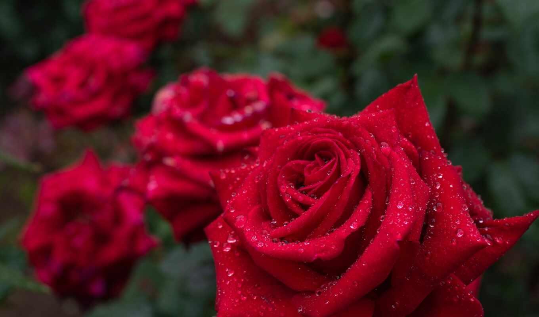 makryi, роза, water, бутон, drop, цветы, лепесток, side, роса